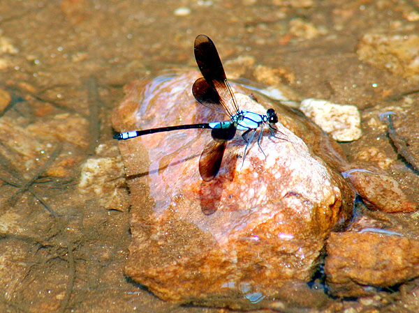 thirsty blue dragon fly