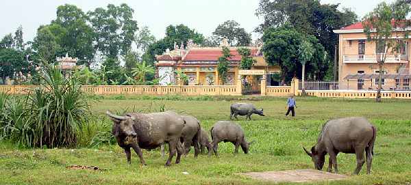 water buffalo grazing Hue